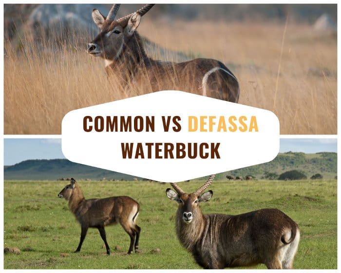 The main difference between the common waterbuck and the defassa waterbuck