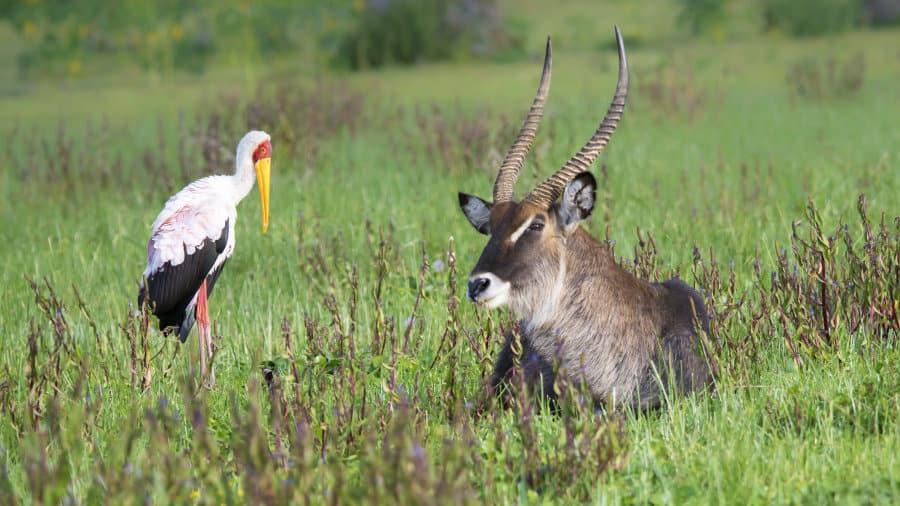 Waterbuck – Fun & interesting antelope facts