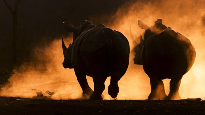 Dusty white rhino silhouettes at sunset
