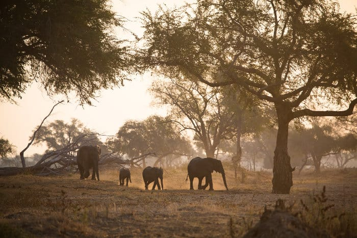 Four elephants in late afternoon sunlight, Gonarezhou National Park, Zimbabwe
