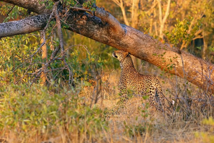 Female leopard marking her territory, rubbing her head against a tree