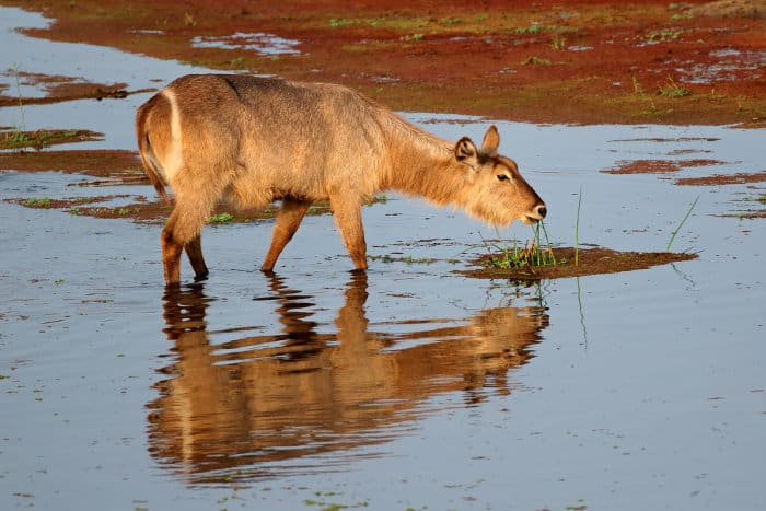 Common waterbuck feeding on aquatic grass