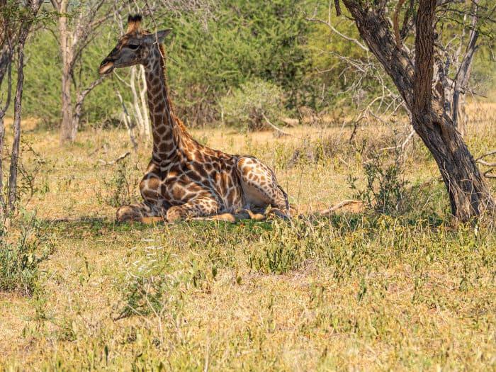 Female giraffe resting under a tree