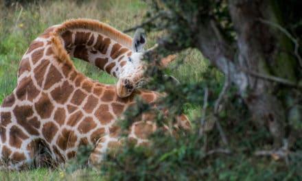 How do giraffes sleep? (In the wild vs captivity)