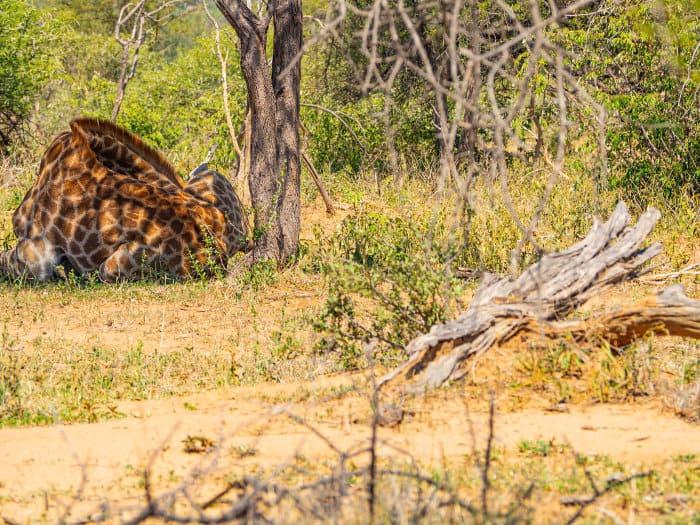 Tired giraffe sleeping under a tree