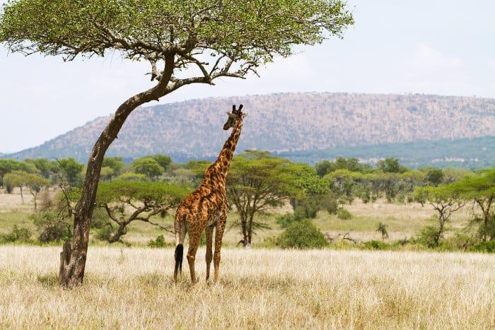 Masai giraffe standing under the shade of an Acacia tree, in the Serengeti