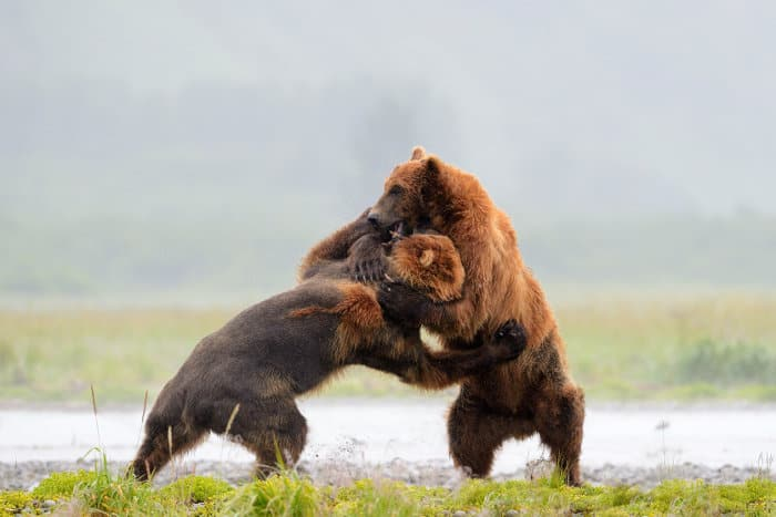 Two huge grizzly bears fight for dominance