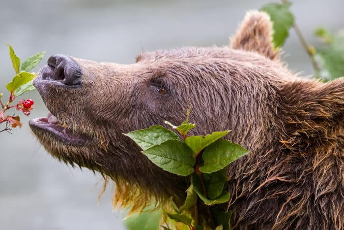 Grizzly bear portrait, eating cranberries in the Canadian wilderness