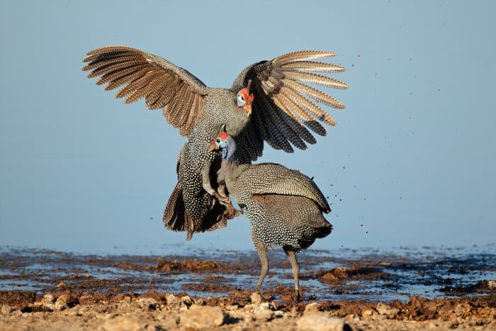 Two helmeted guineafowl fighting in Etosha National Park, Namibia