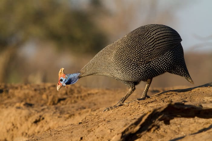 Helmeted guineafowl walking down to the edge of the water to have a drink