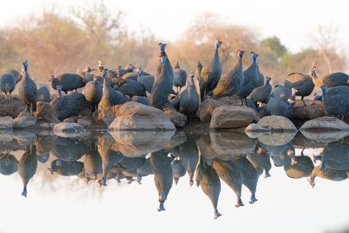 Perfect guineafowl reflection, Mashatu Game Reserve
