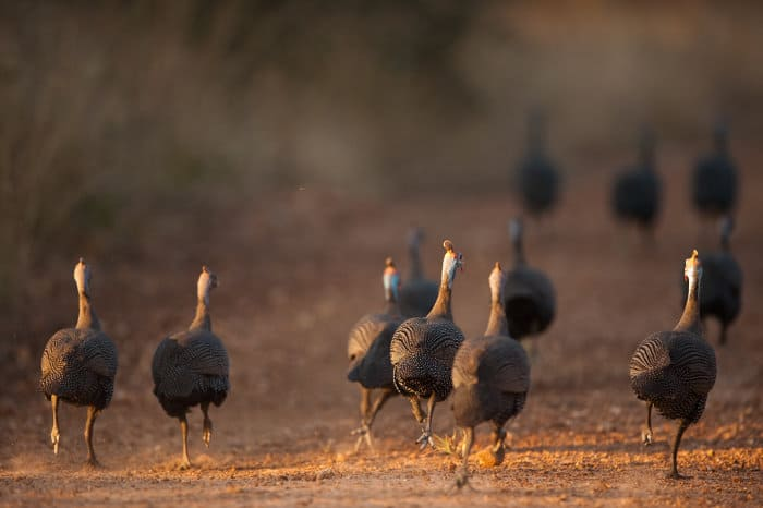 Flock of helmeted guineafowl running away on a dirt road