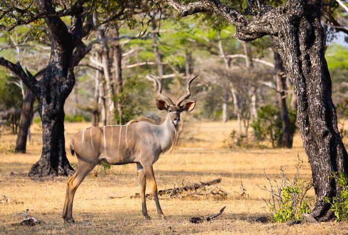 Elegant greater kudu bull in the Selous Game Reserve