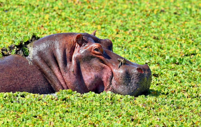 """Very large hippo in a """"soup"""" of vegetation"""