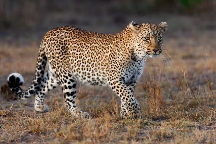 Leopard on the move in the Masai Mara