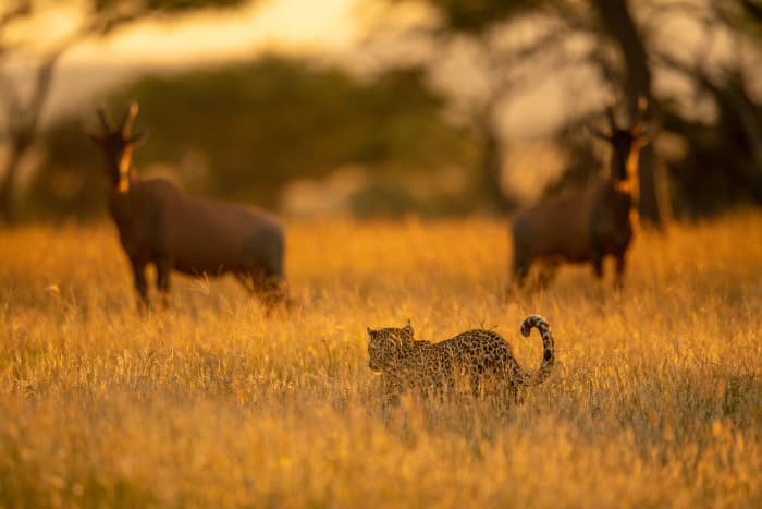 Two topi watch a leopard walk past in the tall golden grass