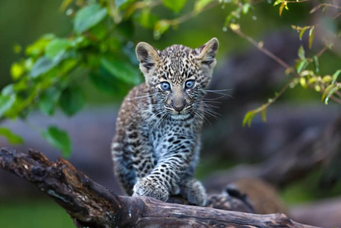 Leopard cubs have bright blue eyes during the first few months of life