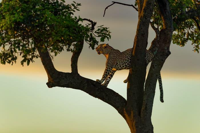 Leopard in a tree just before sunrise, Masai Mara