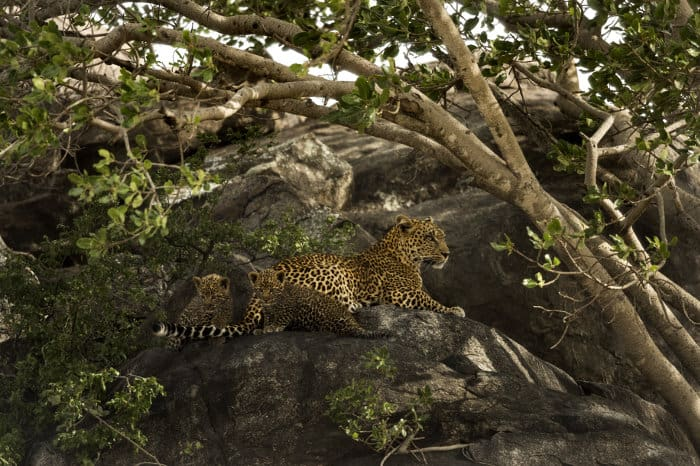 Female leopard and her two cubs at their secret hideaway, Serengeti