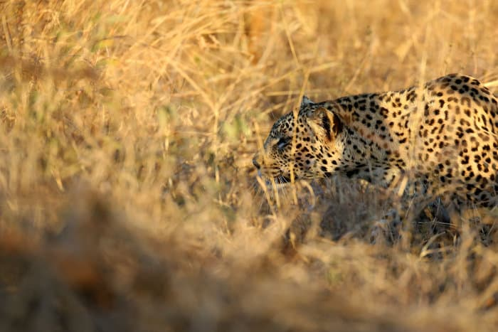 A perfectly camouflaged leopard stalks its prey in high grasses