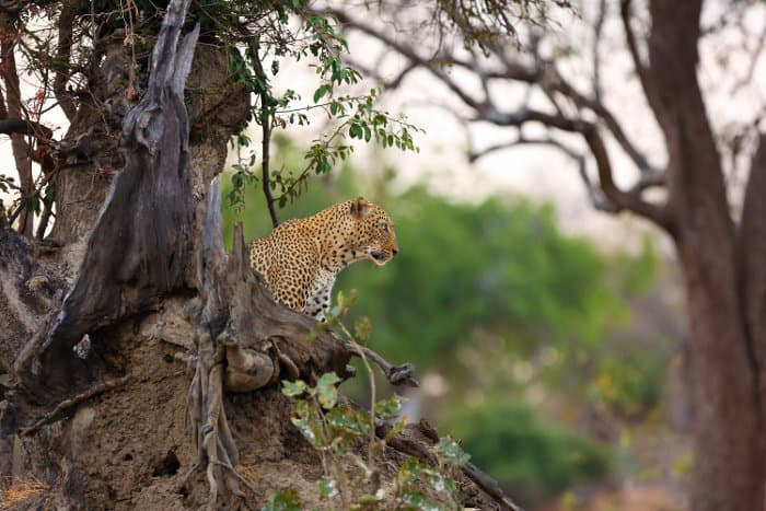 Lone leopard resting on top of an old termite mound