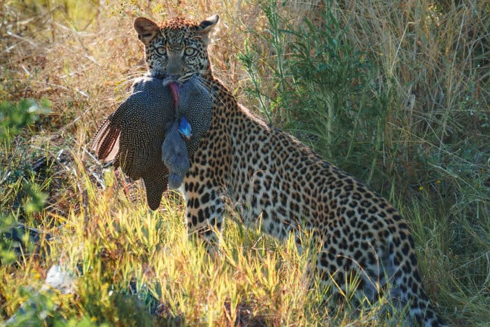 Wild leopard with helmeted guineafowl in its jaws, Khwai, Botswana