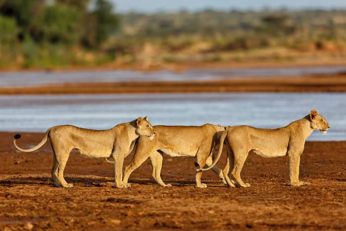 Three lionesses near the river in Samburu