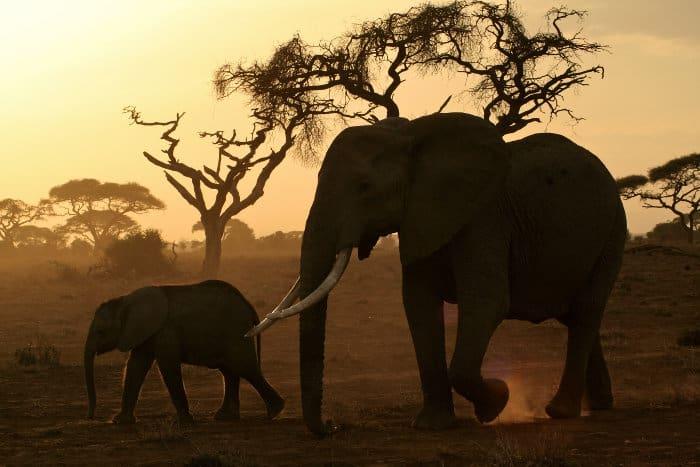 Mom and baby elephant walking across the dusty savanna in fading light, Amboseli