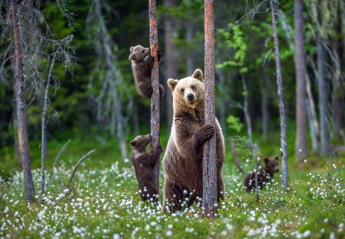 Mom brown bear standing on its hind legs, with two of her cubs climbing a tree