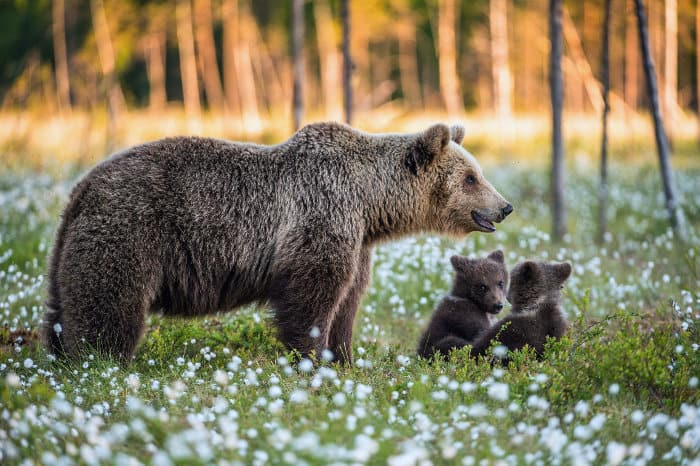 Female brown bear and her two cubs in blooming forest, Alaska