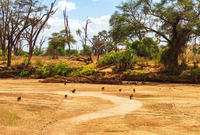 A joyful troop of olive baboons go about their daily activities, walking across the dry Ewaso Ng'iro riverbed
