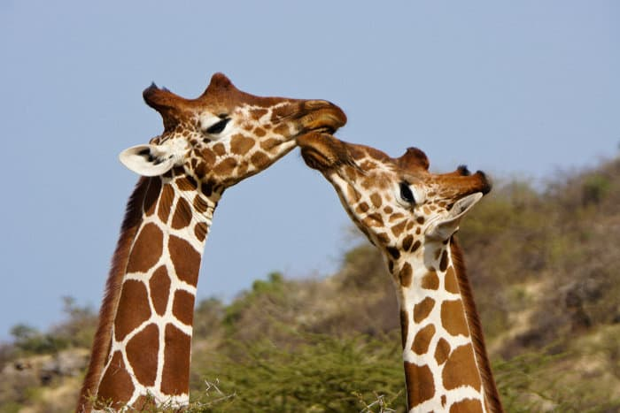 """Two reticulated giraffes touch each other's noses in a friendly """"kiss"""""""