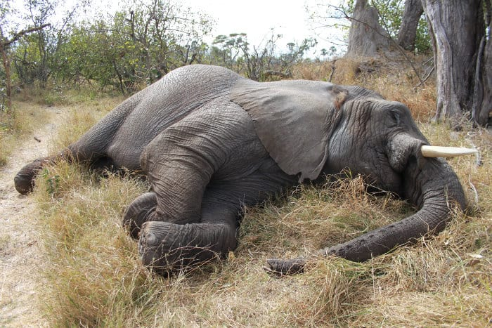 Elephant sleeping in the African bush