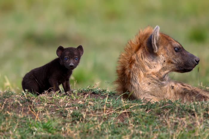 Cute spotted hyena cub next to his mum, in the Masai Mara