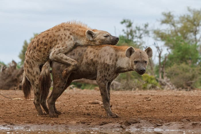 Spotting spotted hyena mating is a very rare occurence