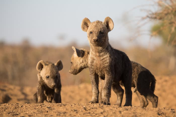 Three cute spotted hyena pups standing in the sun outside their den