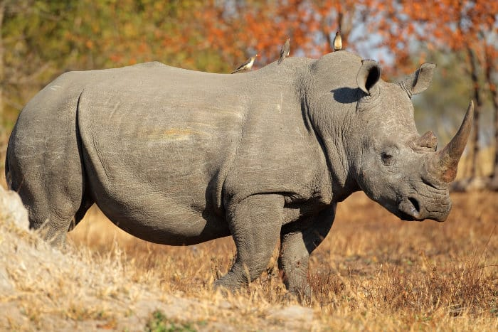 White rhinoceros - also known as the square-lipped rhinoceros - with three red-billed oxpeckers on its back