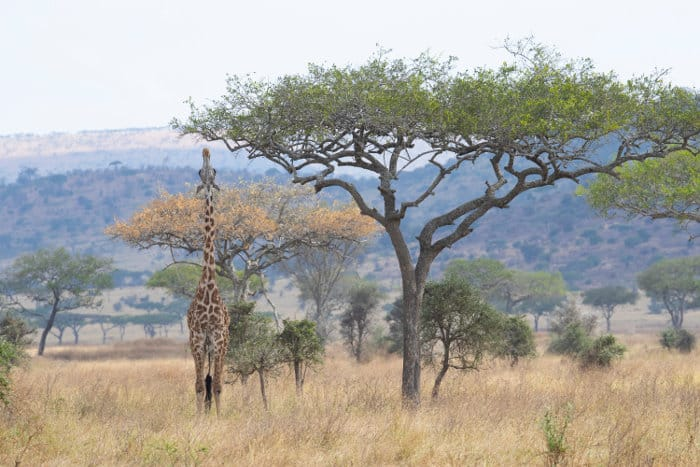 A very tall Masai giraffe stretches her neck to reach the best acacia leaves