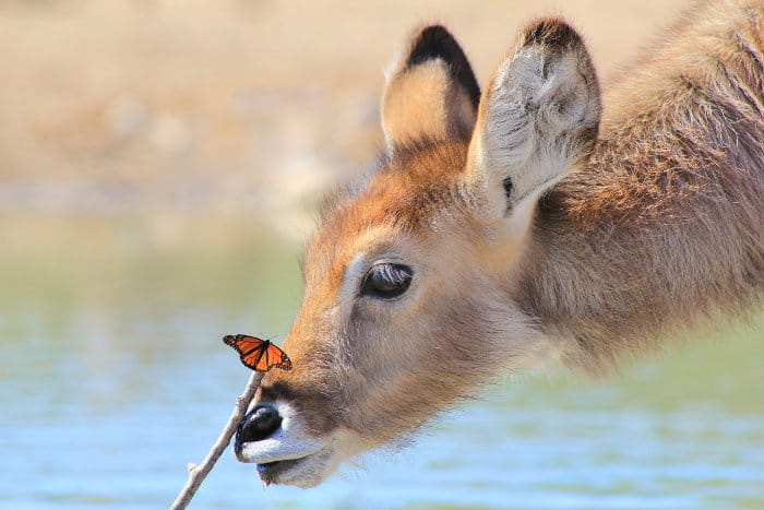 Fun pic of a young waterbuck making friends with a monarch butterfly