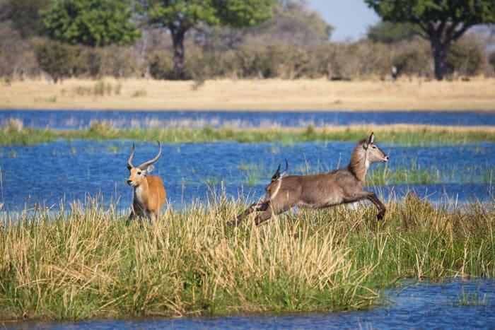 An alarmed waterbuck runs past two red lechwe in the Okavango Delta