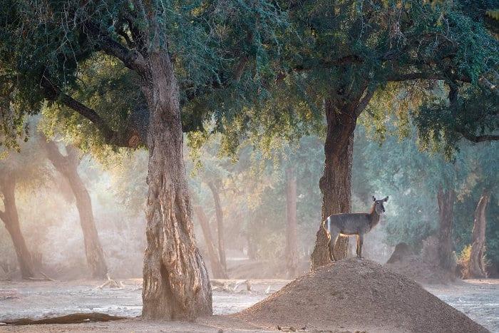 Lone female waterbuck standing on a termite mound in Mana Pools, Zimbabwe