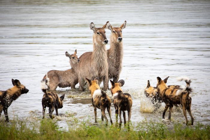 Three waterbuck cornered by wild dogs in the water