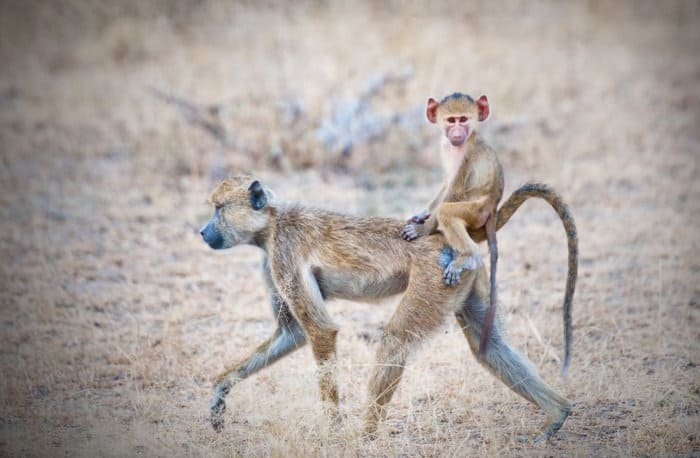 Mom yellow baboon carrying her baby on her back