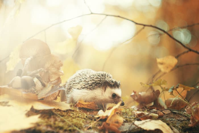 African pygmy hedgehog walking in the forest
