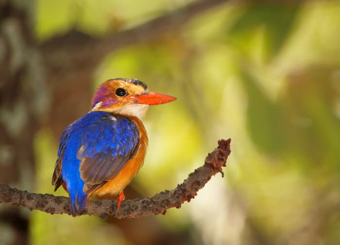 African pygmy kingfisher perched under Mopane canopy, Kruger