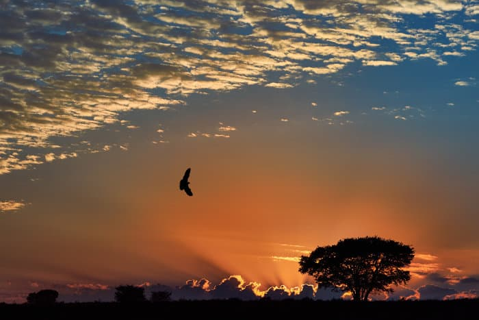 Bird of prey silhouette against orange sunset hues and stormy clouds in the background, Kalahari desert