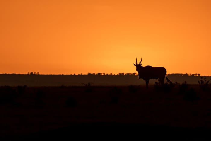 Eland silhouette at sunset, Masai Mara, Kenya