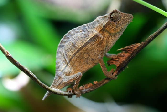 The Marshall's pygmy chameleon goes by many names, including the Marshall's dwarf chameleon and the Marshall's leaf chameleon