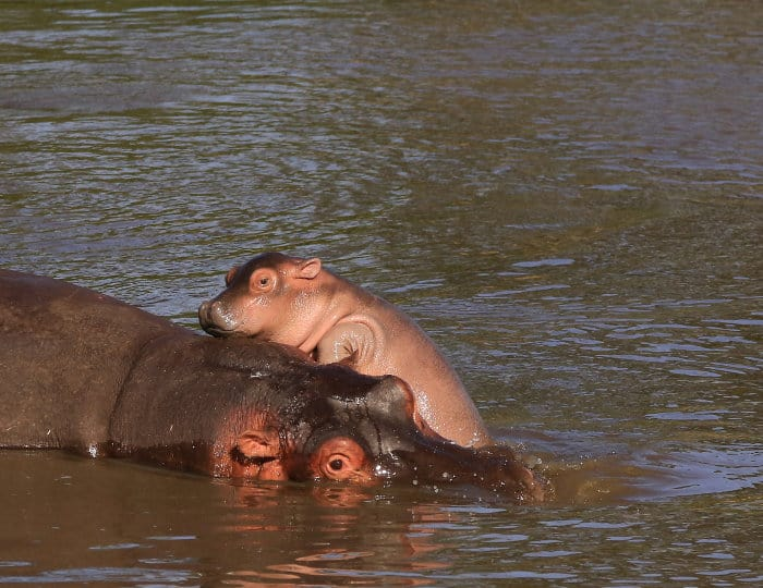 """Cute baby hippo giving his mother a big """"hug"""""""