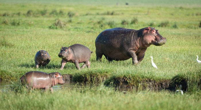 Three baby hippos and a mother out in the open, Amboseli, Kenya